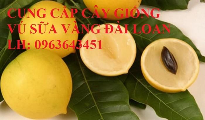 Cung cấp cây giống vú sữa vàng Đài Loan, vú sữa abiu, vú sữa hoàng kim cây ghép, cây hạt F1, giá tốt13
