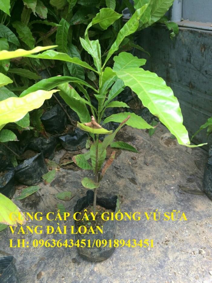 Cung cấp cây giống vú sữa vàng Đài Loan, vú sữa abiu, vú sữa hoàng kim cây ghép, cây hạt F1, giá tốt5