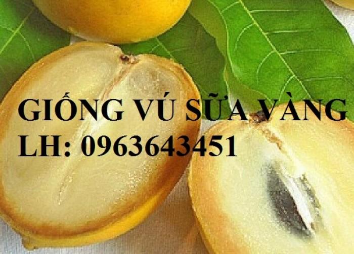 Cung cấp cây giống vú sữa vàng Đài Loan, vú sữa abiu, vú sữa hoàng kim cây ghép, cây hạt F1, giá tốt10