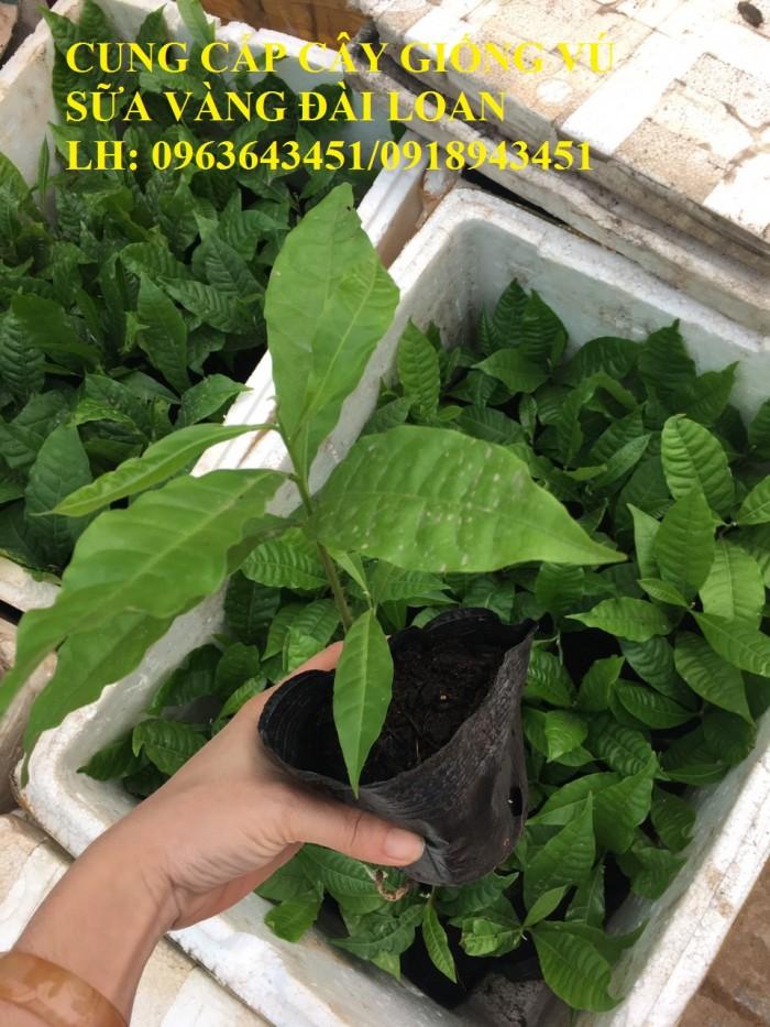 Cung cấp cây giống vú sữa vàng Đài Loan, vú sữa abiu, vú sữa hoàng kim cây ghép, cây hạt F1, giá tốt3