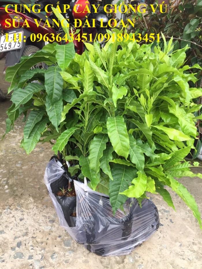 Cung cấp cây giống vú sữa vàng Đài Loan, vú sữa abiu, vú sữa hoàng kim cây ghép, cây hạt F1, giá tốt2