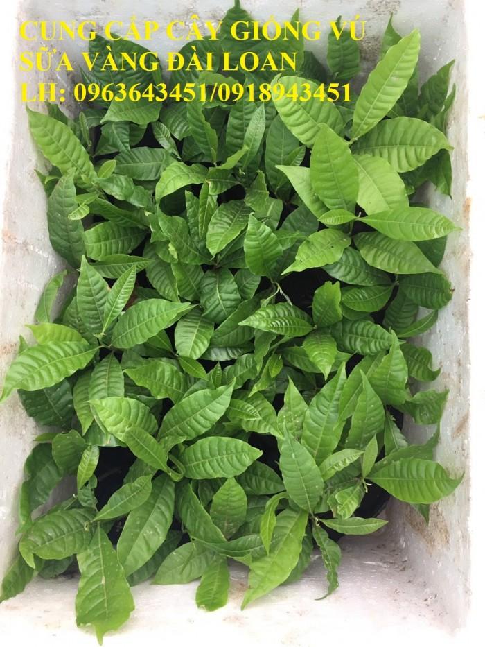 Cung cấp cây giống vú sữa vàng Đài Loan, vú sữa abiu, vú sữa hoàng kim cây ghép, cây hạt F1, giá tốt1