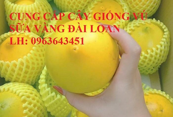 Cung cấp cây giống vú sữa vàng Đài Loan, vú sữa abiu, vú sữa hoàng kim cây ghép, cây hạt F1, giá tốt8