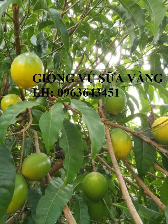 Cung cấp cây giống vú sữa vàng Đài Loan, vú sữa abiu, vú sữa hoàng kim cây ghép, cây hạt F1, giá tốt4
