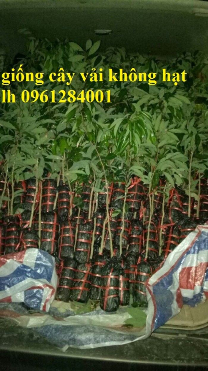 Địa chỉ uy tín cung cấp giống cây vải không hạt, vải không hạt, số lượng lớn, giao hàng toàn quốc7