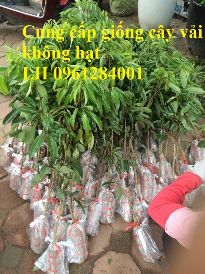 Địa chỉ uy tín cung cấp giống cây vải không hạt, vải không hạt, số lượng lớn, giao hàng toàn quốc11