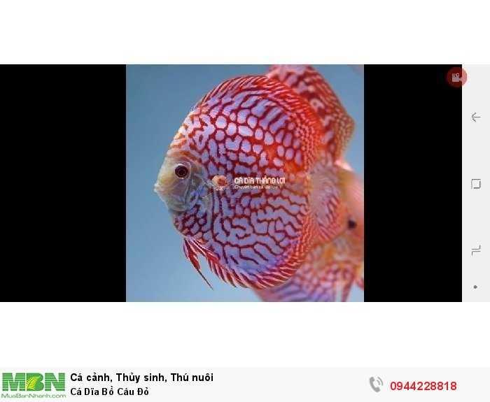 Cá Dĩa Bồ Câu Đỏ0