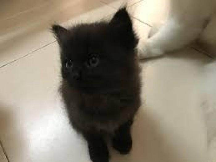 Còn 2 Bé  Mèo Anh lông dài  màu Trắng & Đen : 1,5tr/bé- 2,6 tr/bé4