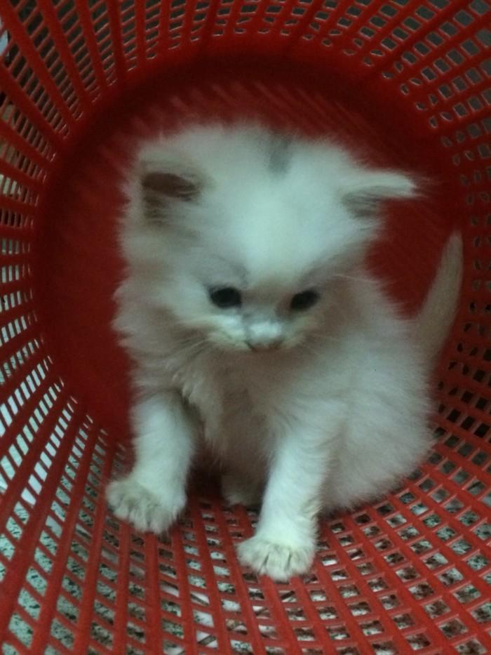 Còn 2 Bé  Mèo Anh lông dài  màu Trắng & Đen : 1,5tr/bé- 2,6 tr/bé3