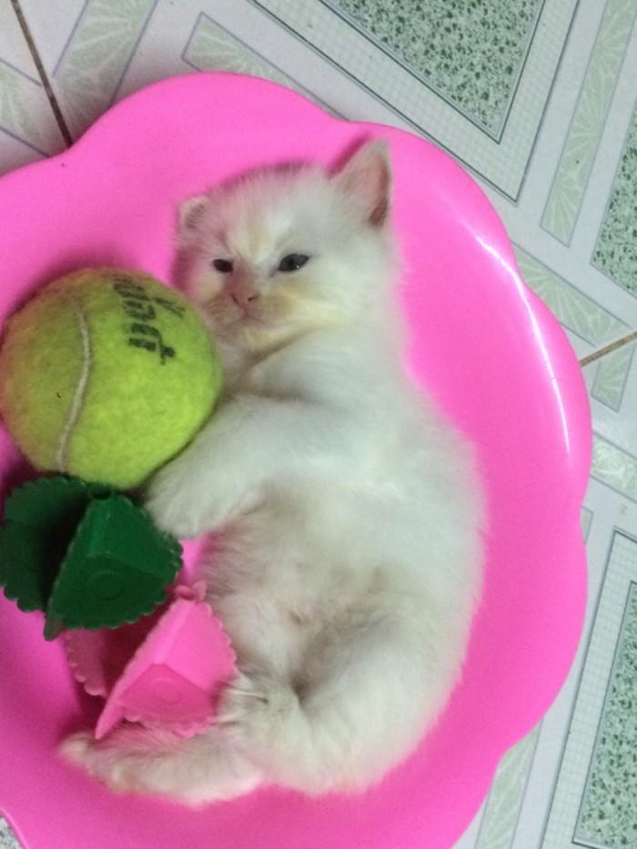 Còn 2 Bé  Mèo Anh lông dài  màu Trắng & Đen : 1,5tr/bé- 2,6 tr/bé2