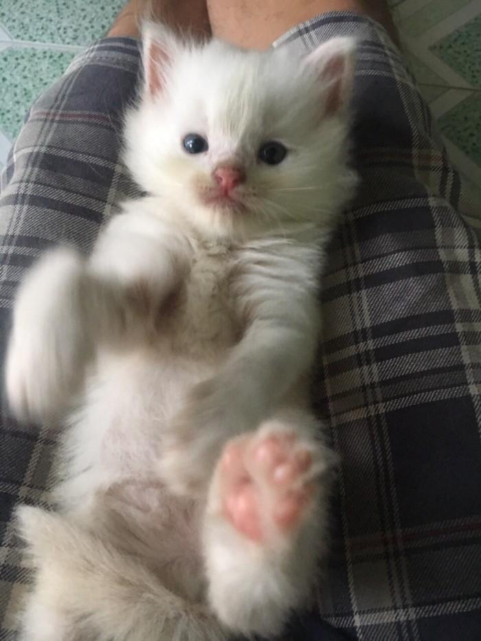 Còn 2 Bé  Mèo Anh lông dài  màu Trắng & Đen : 1,5tr/bé- 2,6 tr/bé0