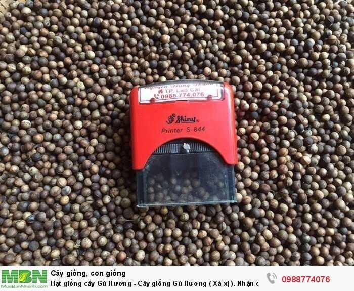 Hạt giống cây Gù Hương - Cây giống Gù Hương ( Xá xị ). Nhận cung cấp sll2