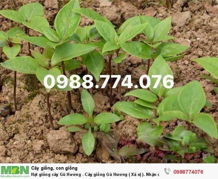 Hạt giống cây Gù Hương - Cây giống Gù Hương ( Xá xị ). Nhận cung cấp sll3