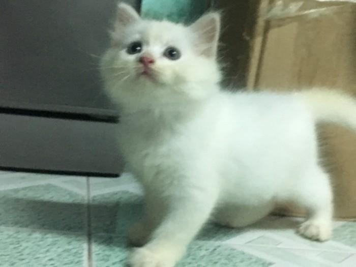 bán 2 Bé Mèo Anh LD 1 tháng 5 ngày  tuổi 2triệu/bé5