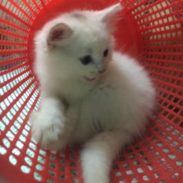 bán 2 Bé Mèo Anh LD 1 tháng 5 ngày  tuổi 2triệu/bé4