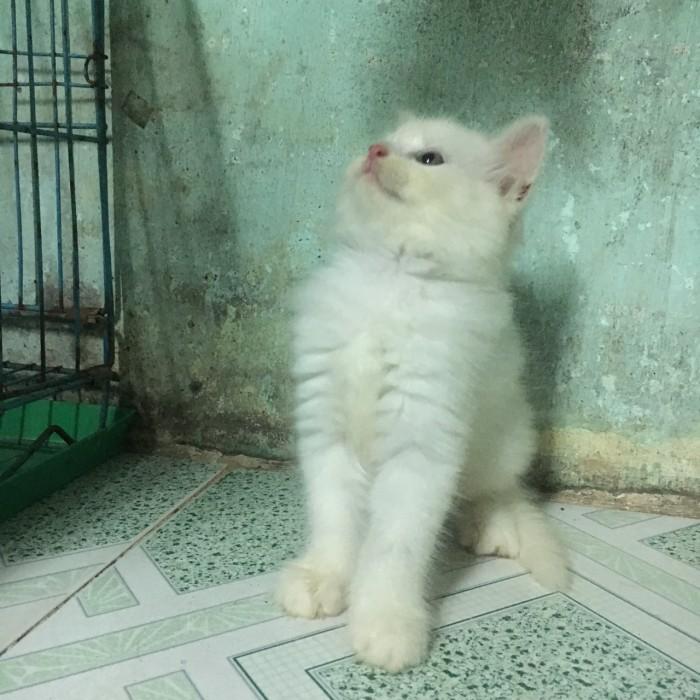 bán 2 Bé Mèo Anh LD 1 tháng 5 ngày  tuổi 2triệu/bé2