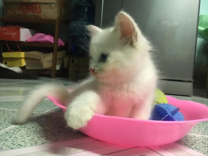 bán 2 Bé Mèo Anh LD 1 tháng 5 ngày  tuổi 2triệu/bé1