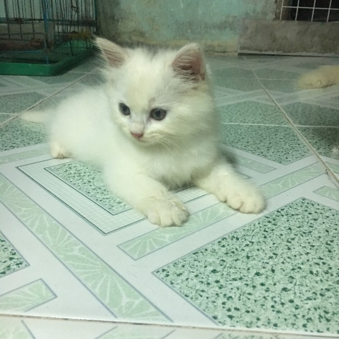 bán 2 Bé Mèo Anh LD 1 tháng 5 ngày  tuổi 2triệu/bé0
