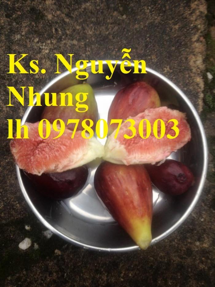 Cung cấp giống cây sung mỹ chuẩn giống, cam kết chất lượng, quả siêu ngọt6