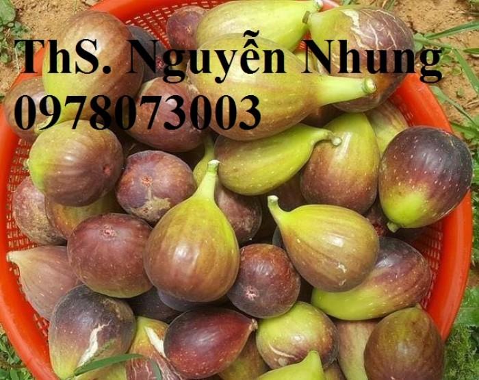 Cung cấp giống cây sung mỹ chuẩn giống, cam kết chất lượng, quả siêu ngọt7