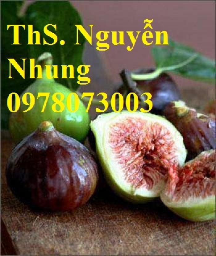 Cung cấp giống cây sung mỹ chuẩn giống, cam kết chất lượng, quả siêu ngọt10