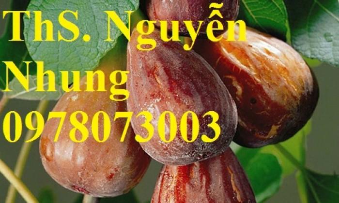 Cung cấp giống cây sung mỹ chuẩn giống, cam kết chất lượng, quả siêu ngọt13