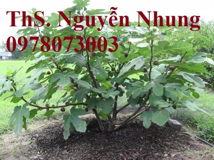 Cung cấp giống cây sung mỹ chuẩn giống, cam kết chất lượng, quả siêu ngọt14