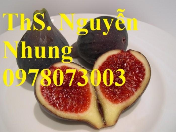 Cung cấp giống cây sung mỹ chuẩn giống, cam kết chất lượng, quả siêu ngọt17