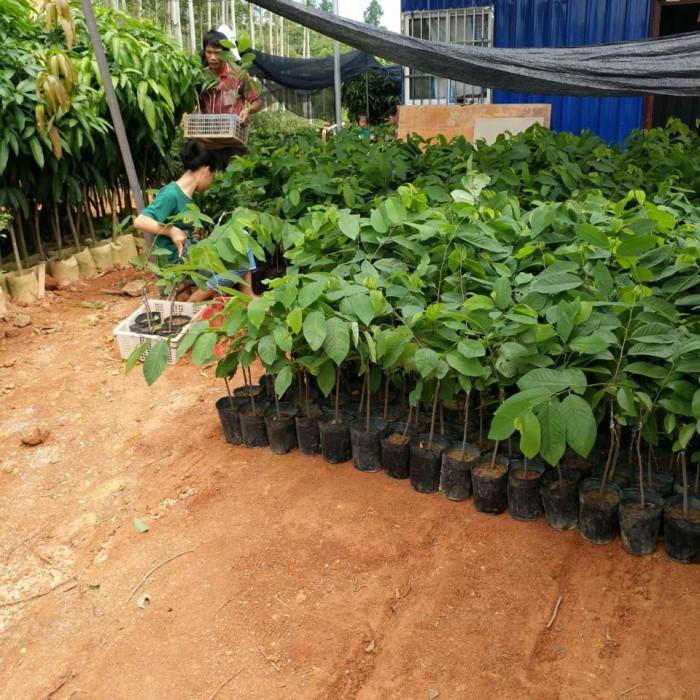 Cây giống na đài loan, na bở, na dai, na dứa, cây giống na đài loan nhập khẩu chất lượng cao9