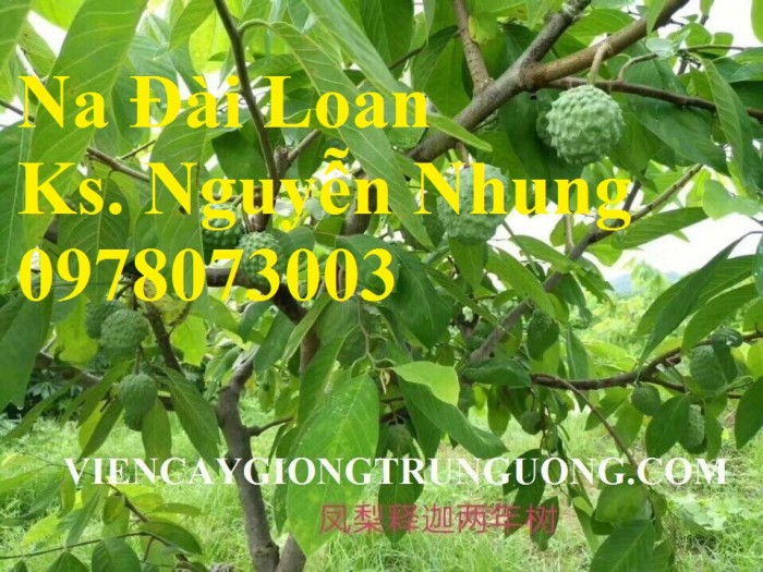Cây giống na đài loan, na bở, na dai, na dứa, cây giống na đài loan nhập khẩu chất lượng cao10