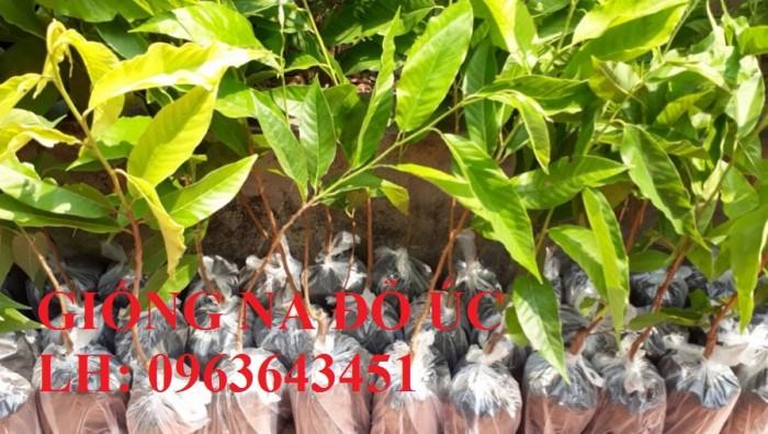 Cung cấp cây giống na đỏ Úc, giống mãng cầu đỏ Úc, giống na đỏ nhập khẩu, uy tín, giao toàn quốc13