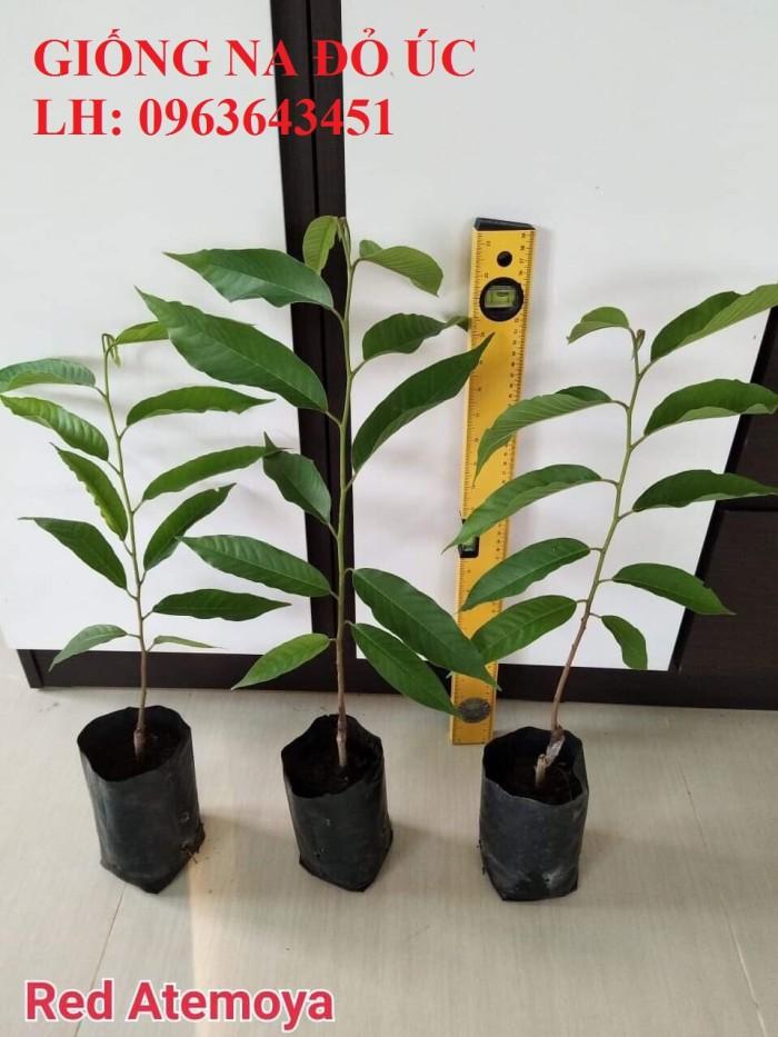 Cung cấp cây giống na đỏ Úc, giống mãng cầu đỏ Úc, giống na đỏ nhập khẩu, uy tín, giao toàn quốc6