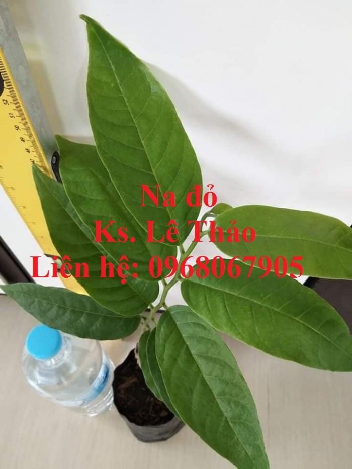 Cung cấp giống Na Đỏ Úc, Na Đỏ, giống cây độc lạ. Hàng nhập khẩu, chuẩn F10