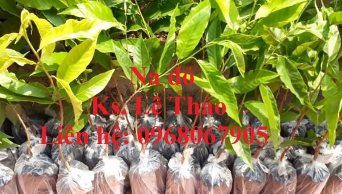 Cung cấp giống Na Đỏ Úc, Na Đỏ, giống cây độc lạ. Hàng nhập khẩu, chuẩn F18