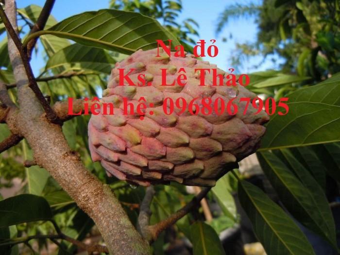 Cung cấp giống cây độc lạ,giống Na đỏ Úc, Na Úc, Na đỏ. Hàng nhập khẩu, chuẩn F17