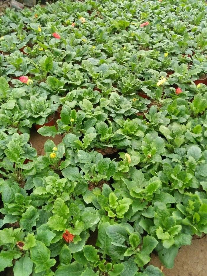 Cung cấp cây giống hoa đồng tiền nuôi cấy mô chất lượng cao5