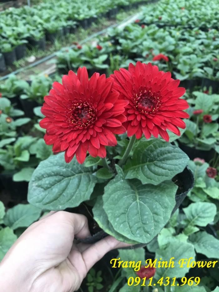 Cung cấp cây giống hoa đồng tiền nuôi cấy mô chất lượng cao4