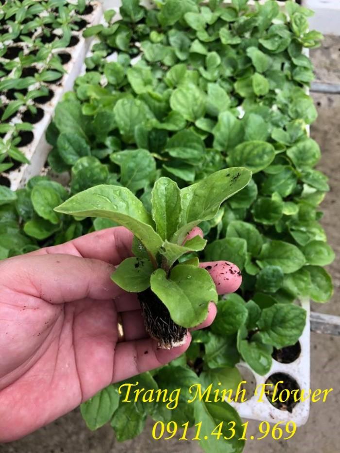 Cung cấp cây giống hoa đồng tiền nuôi cấy mô chất lượng cao3