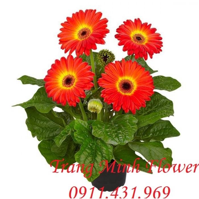 Cung cấp cây giống hoa đồng tiền nuôi cấy mô chất lượng cao2