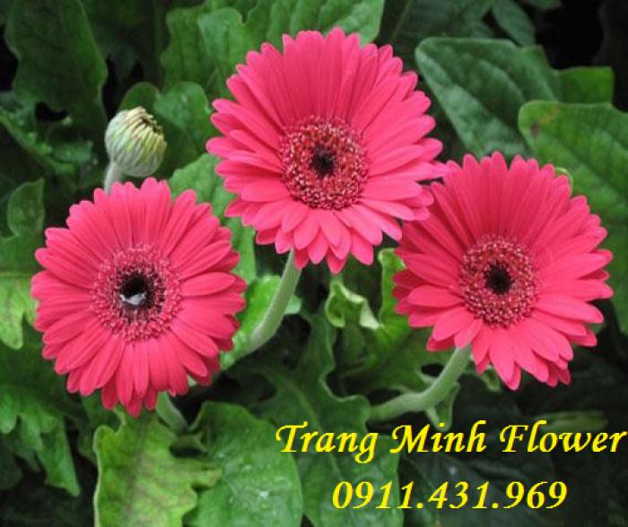 Cung cấp cây giống hoa đồng tiền nuôi cấy mô chất lượng cao1
