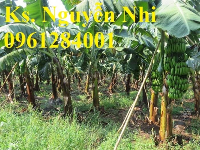 Cây giống chuối tây, chuối tây thái lan, chuối tây lùn, chuối tây cao, chuối nuôi cấy mô, số lượng lớn.4