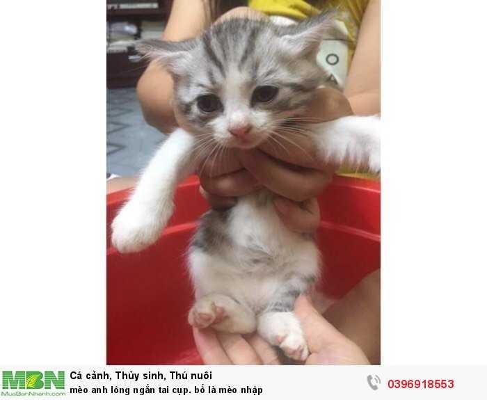 mèo anh lông ngắn tai cụp. bố là mèo nhập2