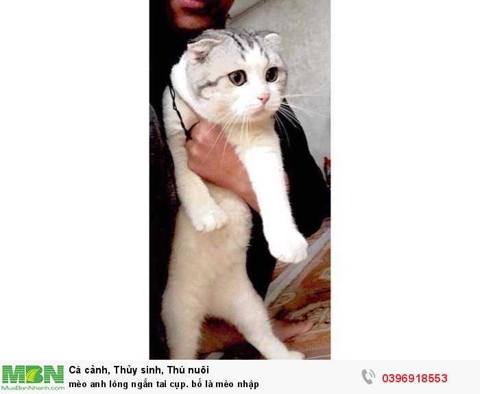 mèo anh lông ngắn tai cụp. bố là mèo nhập4