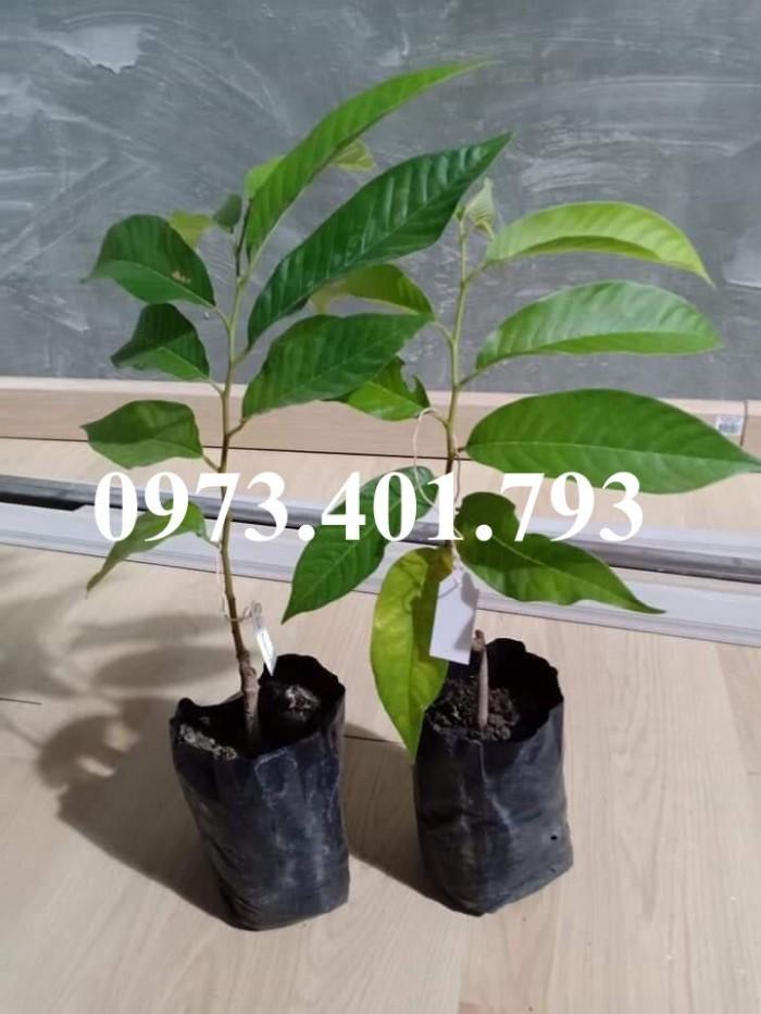 Giống cây na đỏ thái lan1