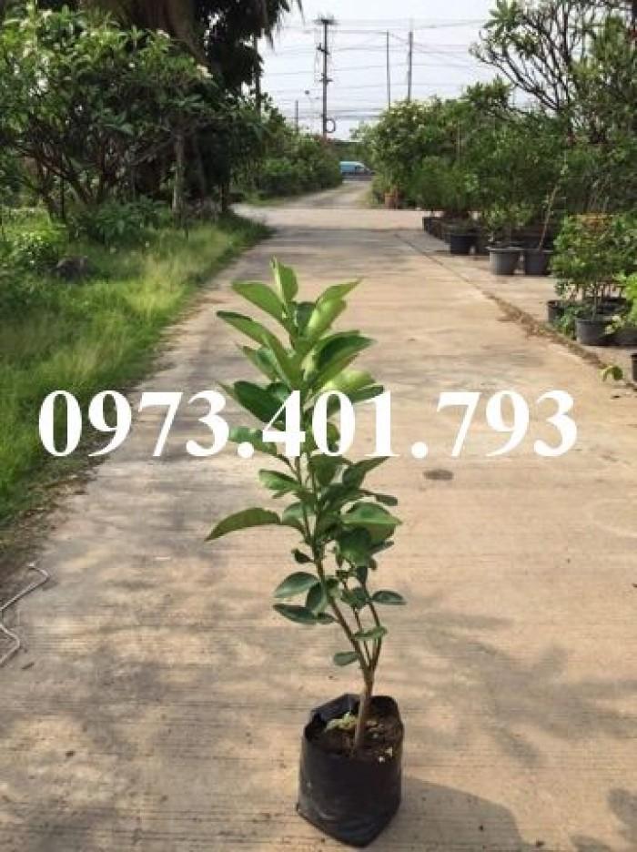 Giiống cây bưởi ruby thái lan ( bưởi hương thái)3