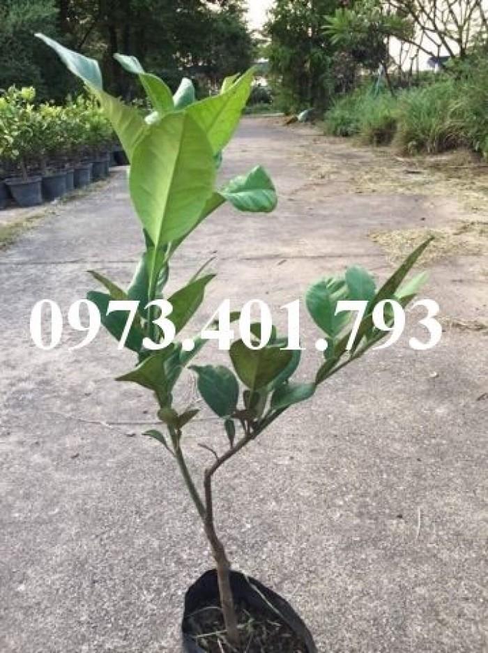 Giiống cây bưởi ruby thái lan ( bưởi hương thái)1