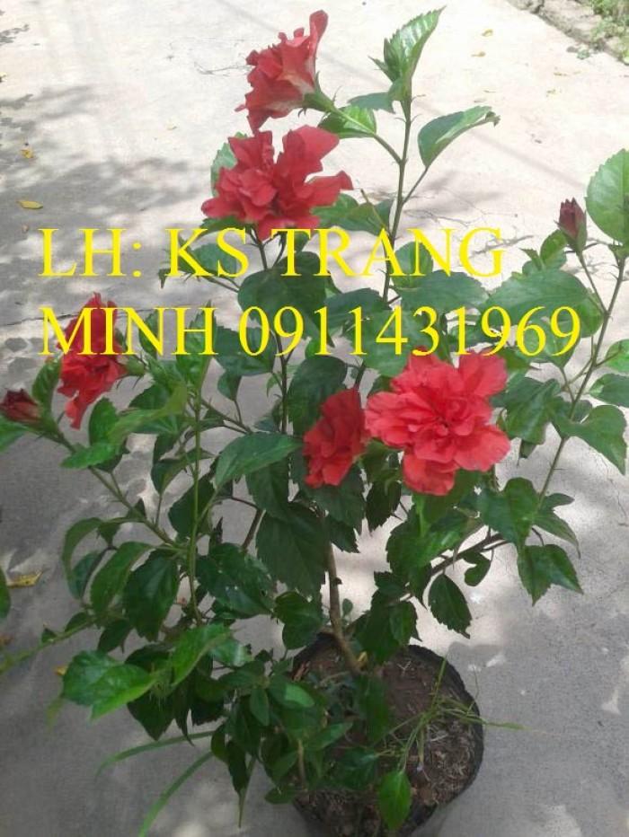 cây hoa dâm bụt đỏ, cánh kép1