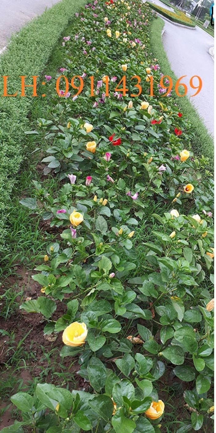 cây hoa dâm bụt trồng làm thảm hoa0