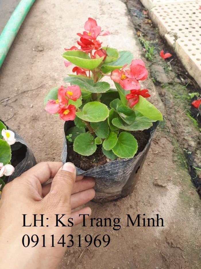 Cây hoa sen cạn- thu hải đường2