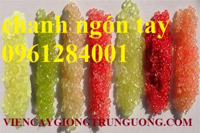 Mua cây giống chanh ngón tay ở đâu chuẩn giống, uy tín? chanh ngón tay nhập khẩu Thái Lan14